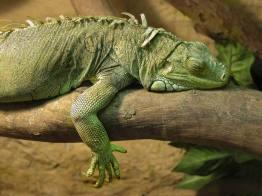 sueño de iguana